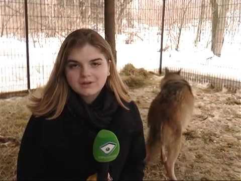 ObjectivTv: У Харкові прихистили вовка, якого господарі тримали на ланцюзі