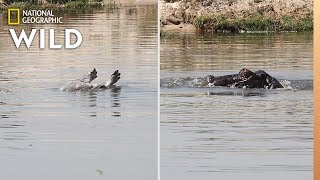 Hippos Grieving First Confirmed Video Nat Geo Wild