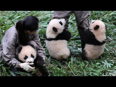 Ten panda cubs begin new lives in Chengdu