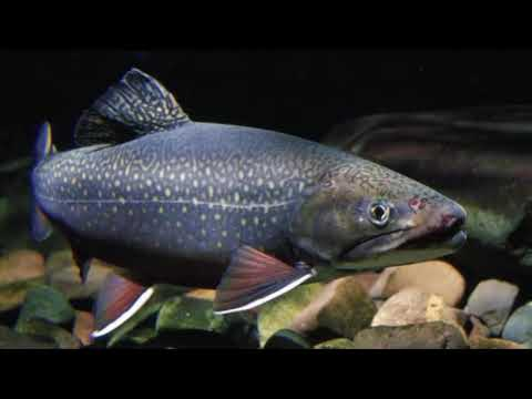 Explore!  ➡️  State Fish: Brook Trout