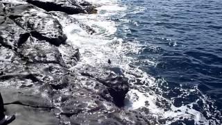 Repeat youtube video 女性釣師の51㎝石鯛キャッチ