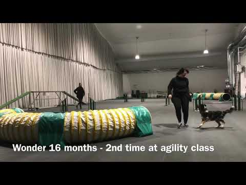 Wonder's second time at agility class