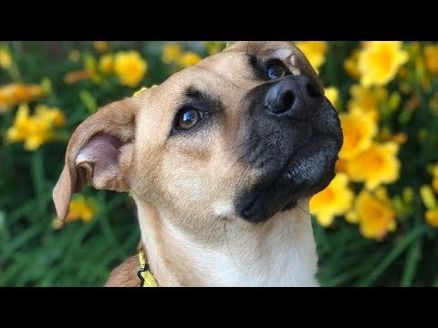 Playful Black Mouth Cur - Man's Greatest Friend And The Best Hunting Companion
