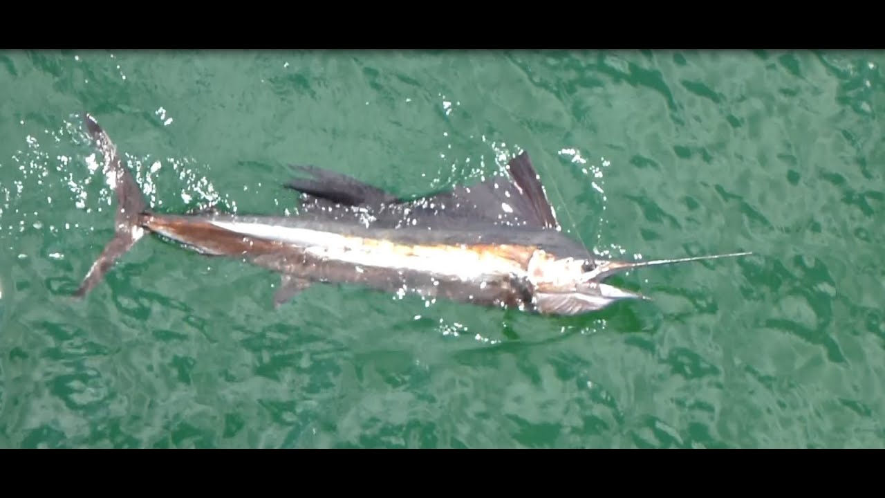 Double sailfish hook up at russell fields pier in panama for Panama city beach pier fishing report