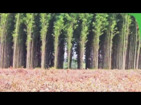 Eucalyptus tree farming by Foam/ Nina