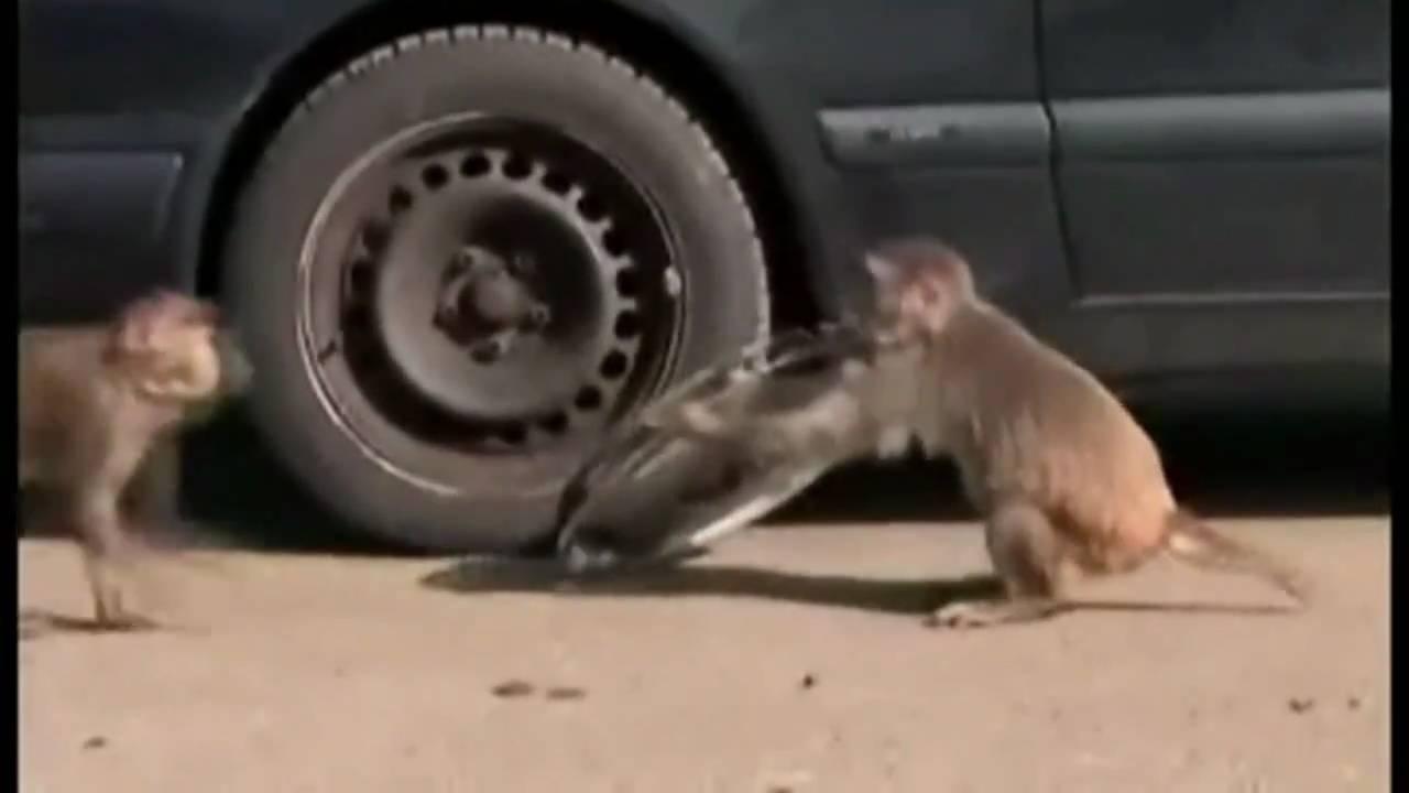 Quick Monkeys Trash Mercedes Car In Longleat Safari Park