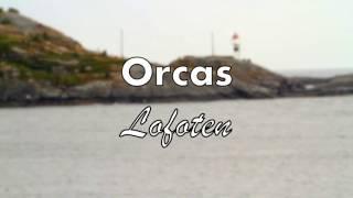 Orcas  Lofoten Norway