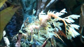Leafy and Weedy Sea Dragons