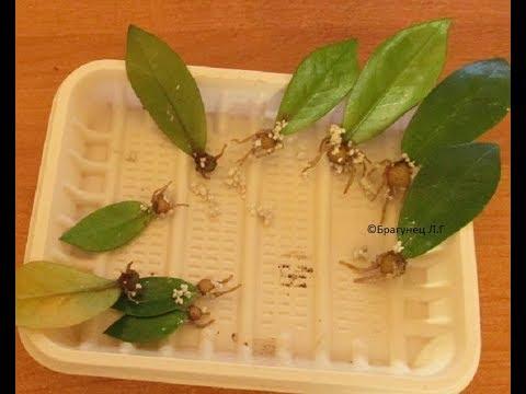 Школа вязания: Я расскажу как размножить замиокулькас