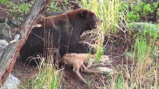 Bear eats elk calf alive - RAW uncut version - Yellowstone National Park