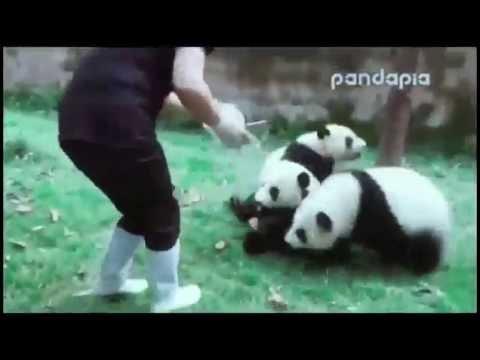 панда приколы -