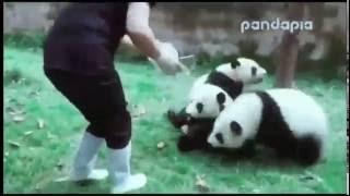 смешные медвежата панда funny panda bear cubs