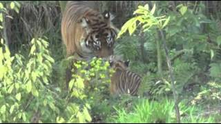 Raw: Sumatran Tiger Cubs Debut at London Zoo