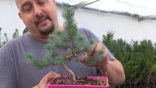 Nuevos bonsai zero pino