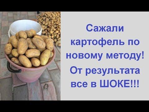 Урожай картофеля с куста 💥выращивание картофеля по новому методу