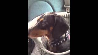 Dachshund Head Tremor