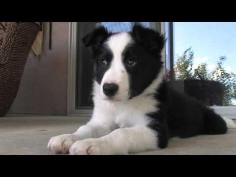 Border Collie Puppy | Cooper at 10 weeks