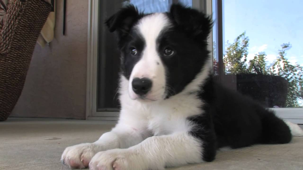 Border Collie Puppy Cooper At 10 Weeks Youtube