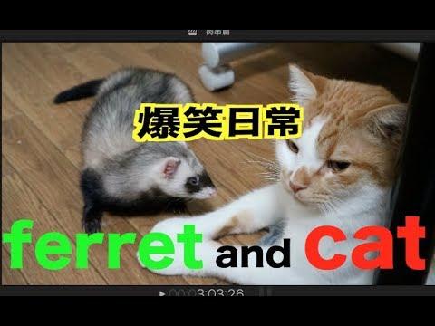 貂和貓的日常|| 本年度最佳寵物電影預告 ||它們到底會不會打架?很萌很搞笑!!まじ面白い笑