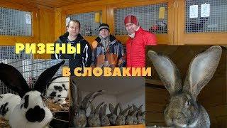 Чемпион и мастер Европы по кроликам, Марк Йозеф – Словакия, ризены