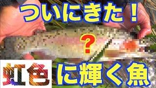岐阜県の山奥で念願のあの魚が釣れた!#6