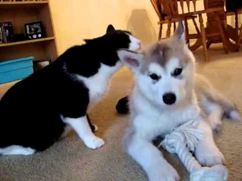 고양이와 놀아주는 말라뮤트 새끼