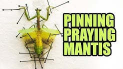 Pinning Carolina Praying Mantis