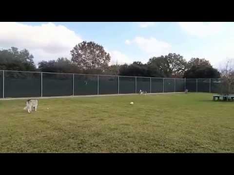 Siberian Husky Aston, Blind Cocker Spaniel, Border Collie Daimler, Mixed breed dog play in dog park