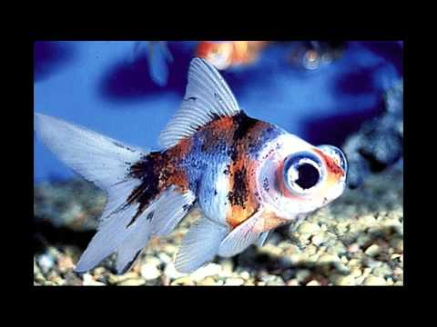 Самые распространенные и неприхотливые аквариумные рыбки/The most undemanding aquarium fish