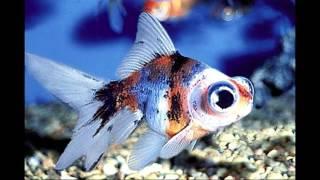 Самые распространенные и неприхотливые аквариумные рыбки/The most undemanding aquarium fish(Информация для начинающих аквариумистов. 12 самых распространенных и неприхотливых аквариумных рыб./Information..., 2015-10-24T10:53:53.000Z)