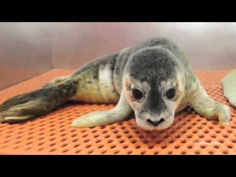 Seal pup rescued from Atlantic Beach