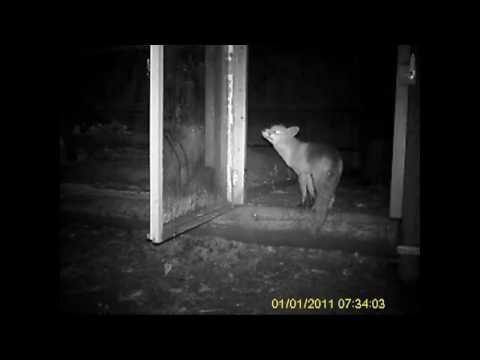 Fuchs besucht unsere Hühner