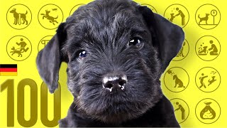 Giant Schnauzer❤Cute and Funny Dog breed videos