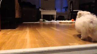 Maltese Puppy Home Alone Training