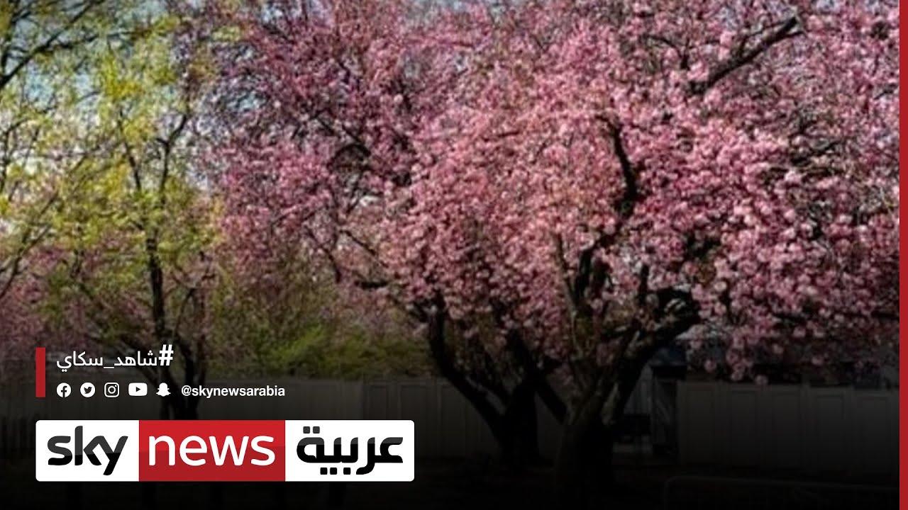 أزمة كورونا تحد من زوار مهرجان أزهار الكرز بواشنطن  - نشر قبل 55 دقيقة