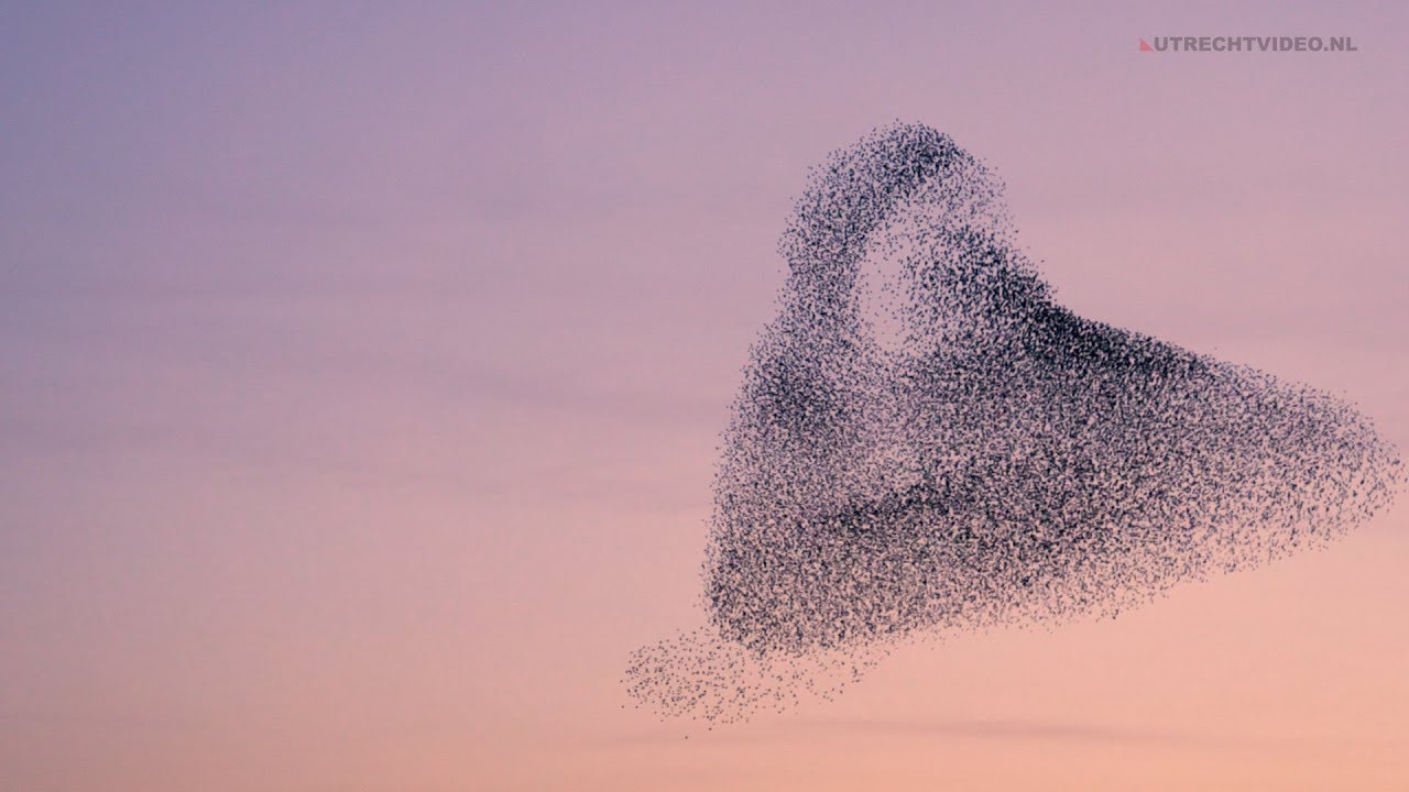 Lessons from Observing Starling Murmurations
