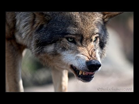 Wolves Kill Swedish Zookeeper Who Raised Them Youtube