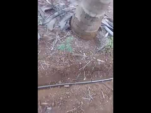Drip irrigation for coconut trees by Ashok