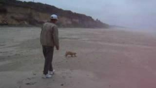 Joey The Welsh Corgi Goes To The Beach