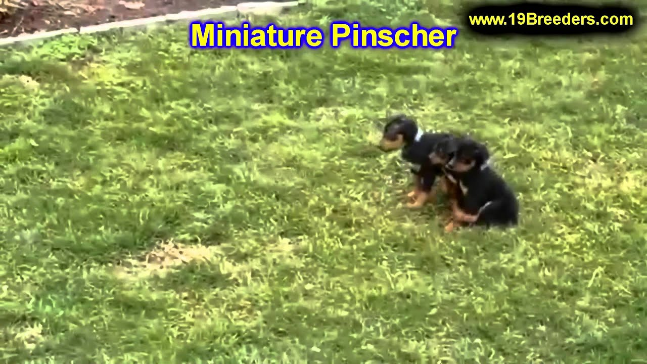 Miniature Pinscher Puppies For Sale In Portland Oregon Or