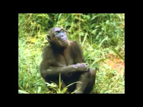 The Chimps of Gombe Part 6
