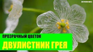 Двулистник – прозрачный цветок