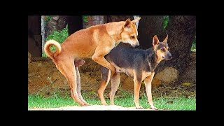 German Shepherd Female Vs Canaan Dog In Prasat Bakong District | In...