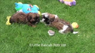 Little Rascals Uk Breeders New Litter Of Cava Tzu - Puppies For Sale UK