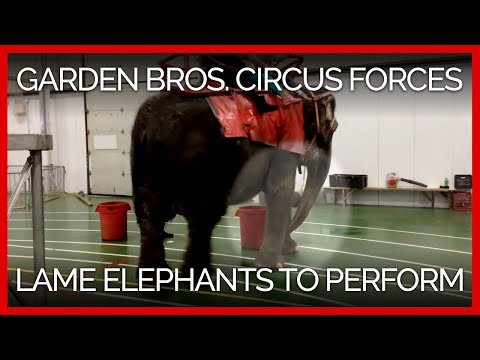 Garden Bros Circus Forces Lame And Distressed Elephants To Perform Youtube