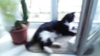 ЧЕРНО БЕЛЫЙ кот СТЁПКА (СМОКИНГ)- поймали вычёсываем шерсть