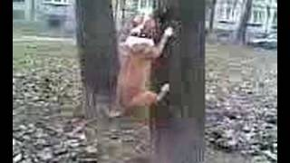 Amstaff Wiewiórka