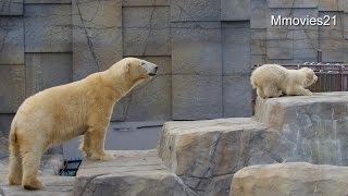 At last step up! Polar Bear Baby ついにお立ち台へ!ホッキョクグマの赤ちゃん