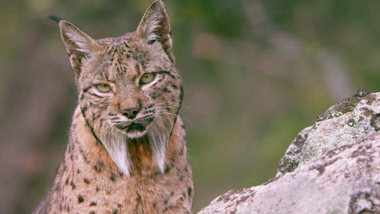 The Elusive Iberian Lynx   Wild Stories   BBC Earth