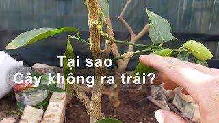 Tại sao cây Chanh Lime không trái? toan trinh garden